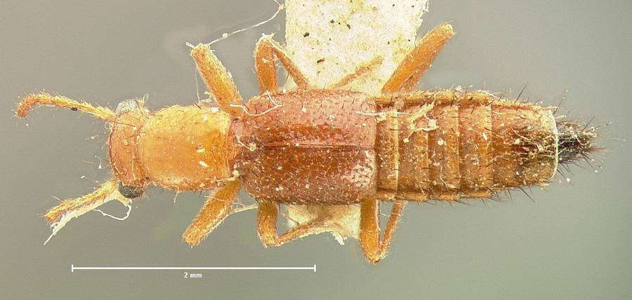 Image of Paederus ustus