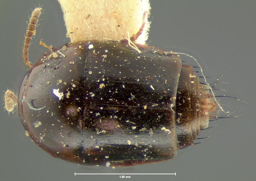 Image of Coproporus laevis