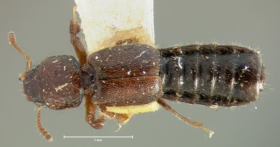 Image of Bledius cribricollis
