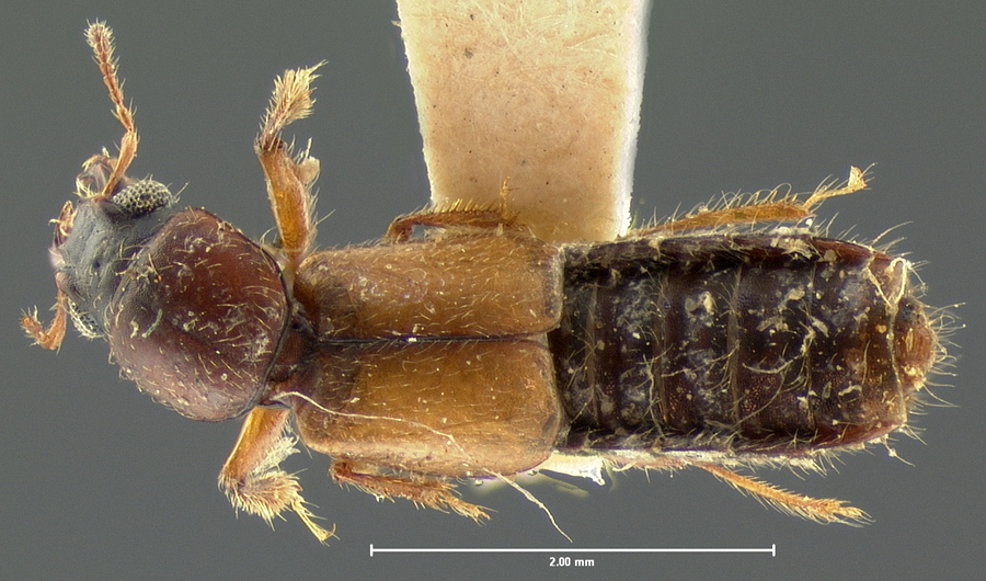 Image of Bledius flavipennis