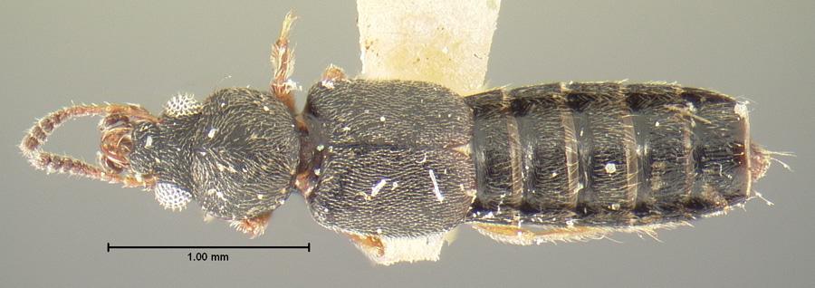 Image of Bledius punctatissimus