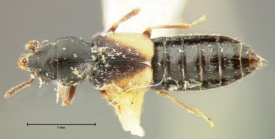 Image of Bledius tarandus