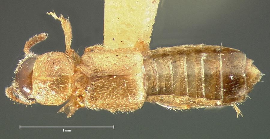 Image of Bledius phytosinus