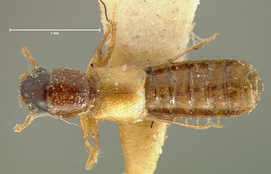 Image of Bledius cognatus