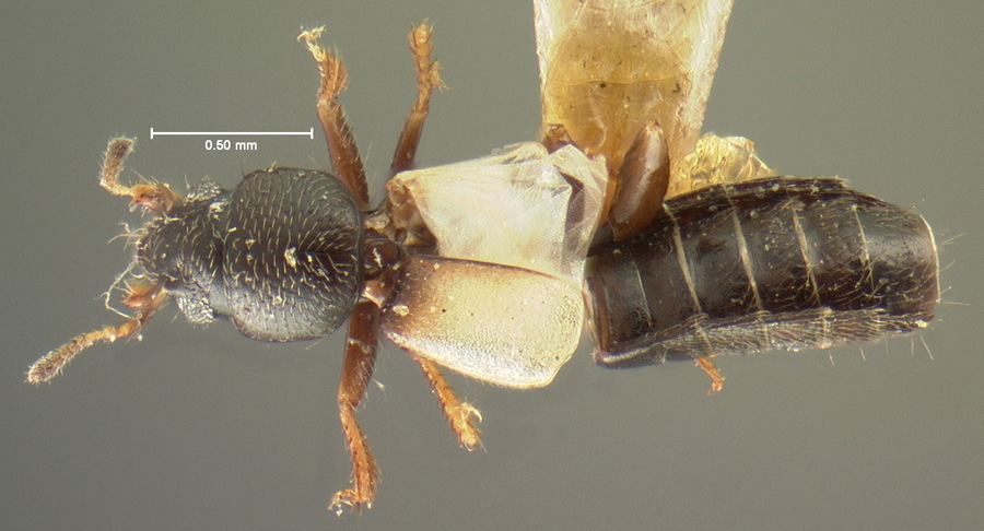 Image of Bledius basalis