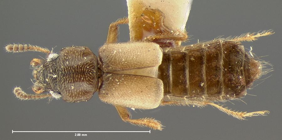 Image of Bledius opaculus
