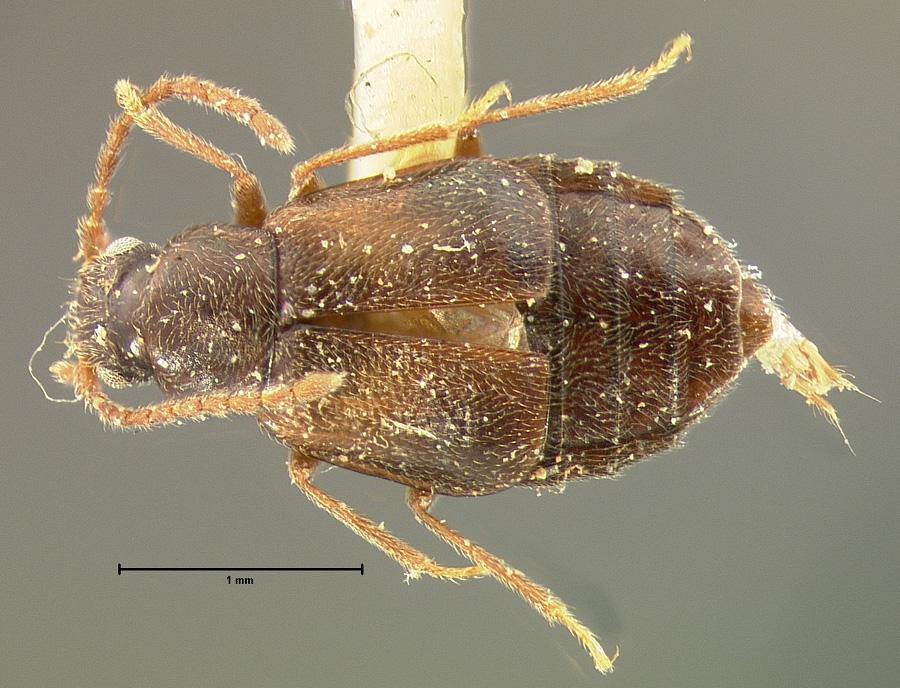 Image of Microedus austinianus