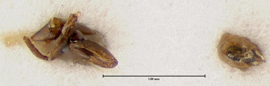 Image of Megarthrus excisus