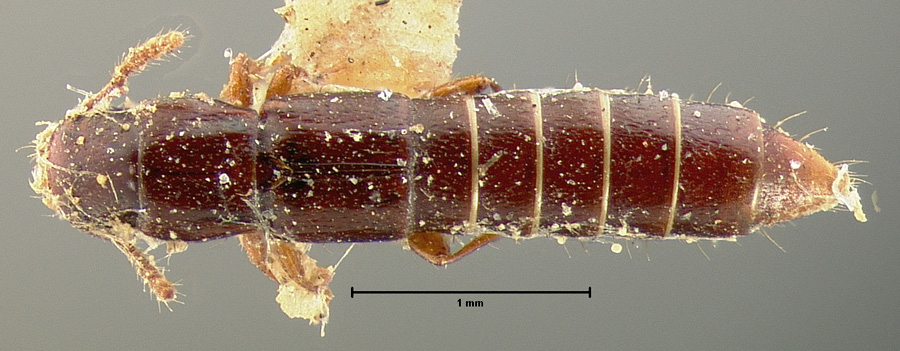 Image of Lispinus obscurus