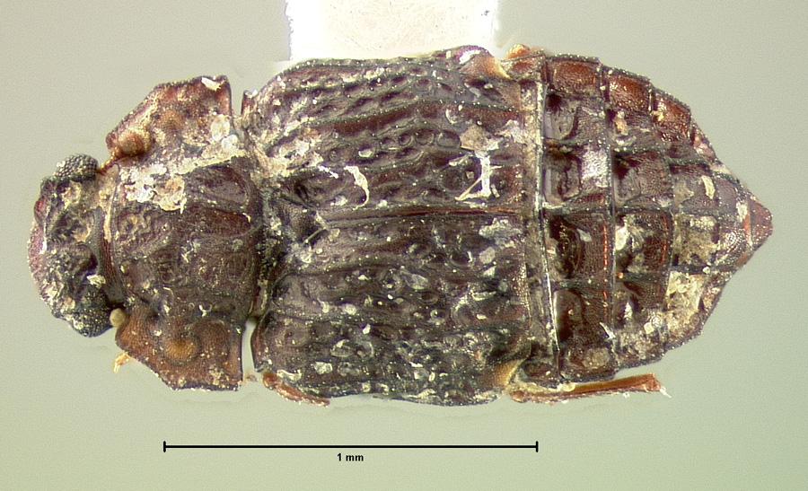 Image of Micropeplus cribratus