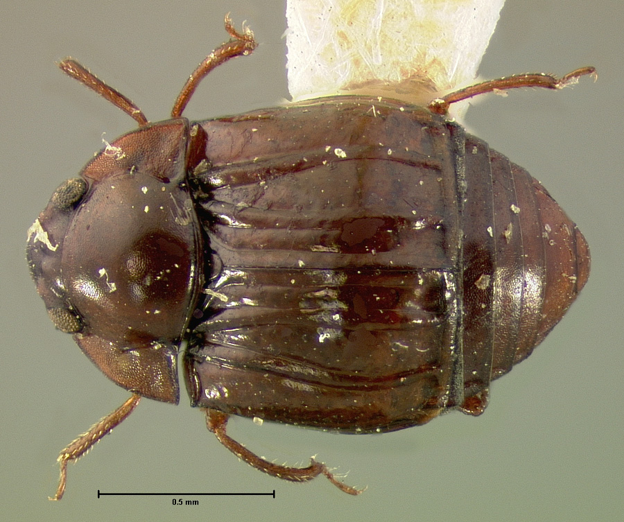 Image of Kalissus nitidus