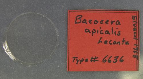 Image of Baeocera apicalis