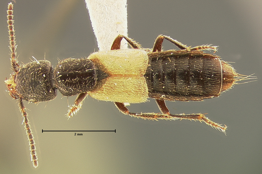 Image of Cafius luteipennis
