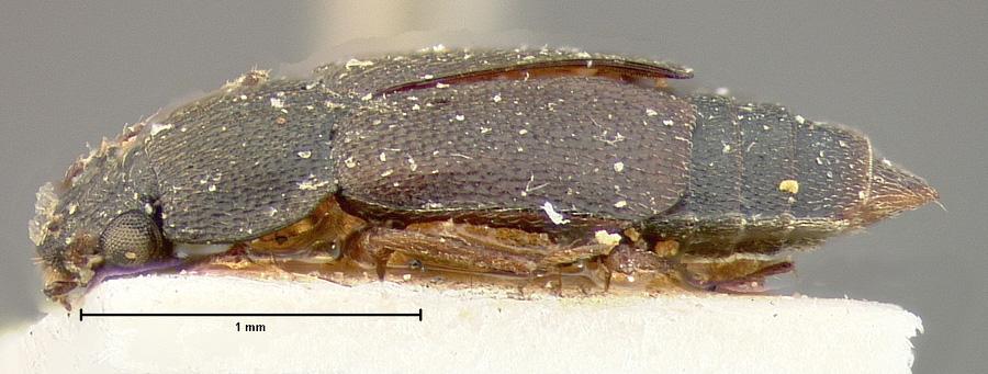 Image of Megarthrus atratus
