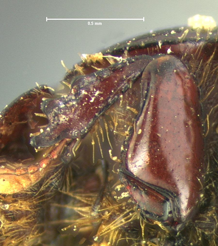 Image of Ataenius lobatus