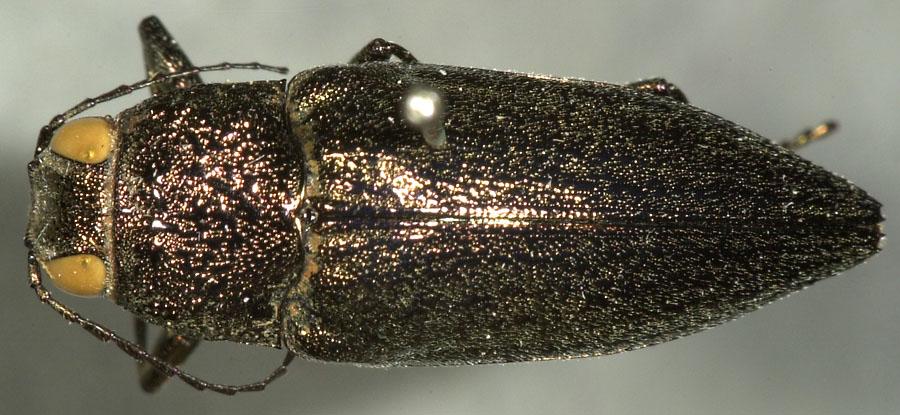 Media of type image, shows cataloged_item. MCZ:Ent:8124 Identified as Gyascutus carolinensis type status Lectotype of Gyascutus carolinensis| Syntype of Gyascutus carolinensis. . Aspect: habitus dorsal view