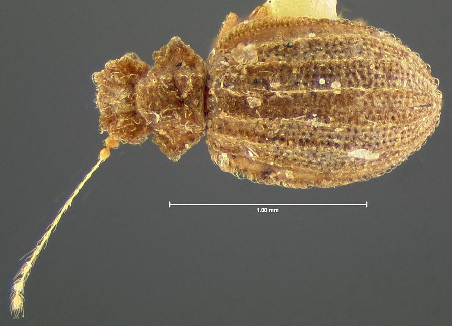 Image of Dasycerus angulicollis
