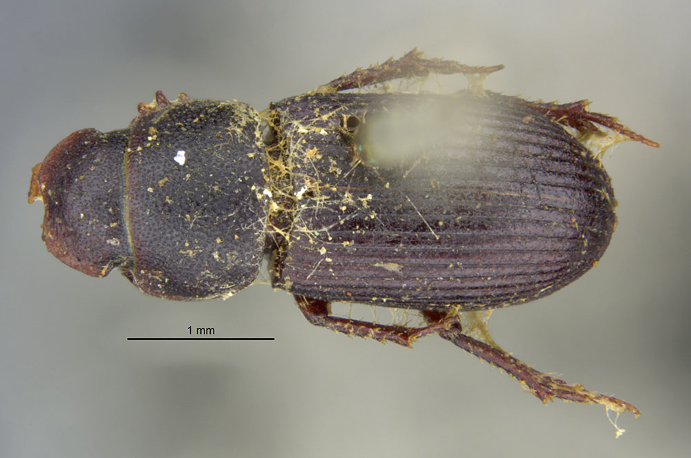 Image of Ataenius abditus