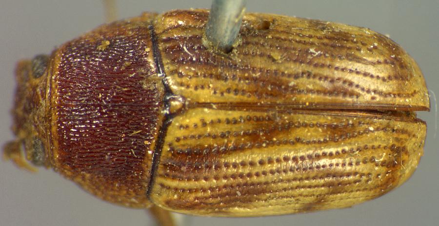 Media of type image, MCZ:Ent:8409 Identified as Cryptocephalus schreibersii type status Holotype of Cryptocephalus rugicollis. . Aspect: habitus dorsal view