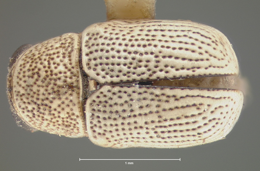 Media of type image, shows cataloged_item. MCZ:Ent:8660 Identified as Pachybrachys coloradensis type status Syntype of Pachybrachys coloradensis. . Aspect: habitus dorsal view