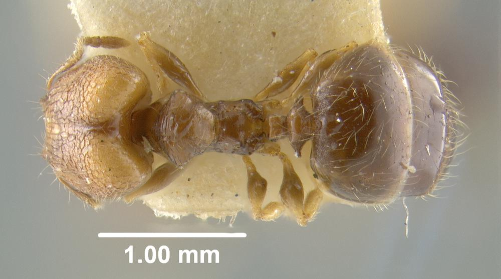 Image of Pheidole vatu