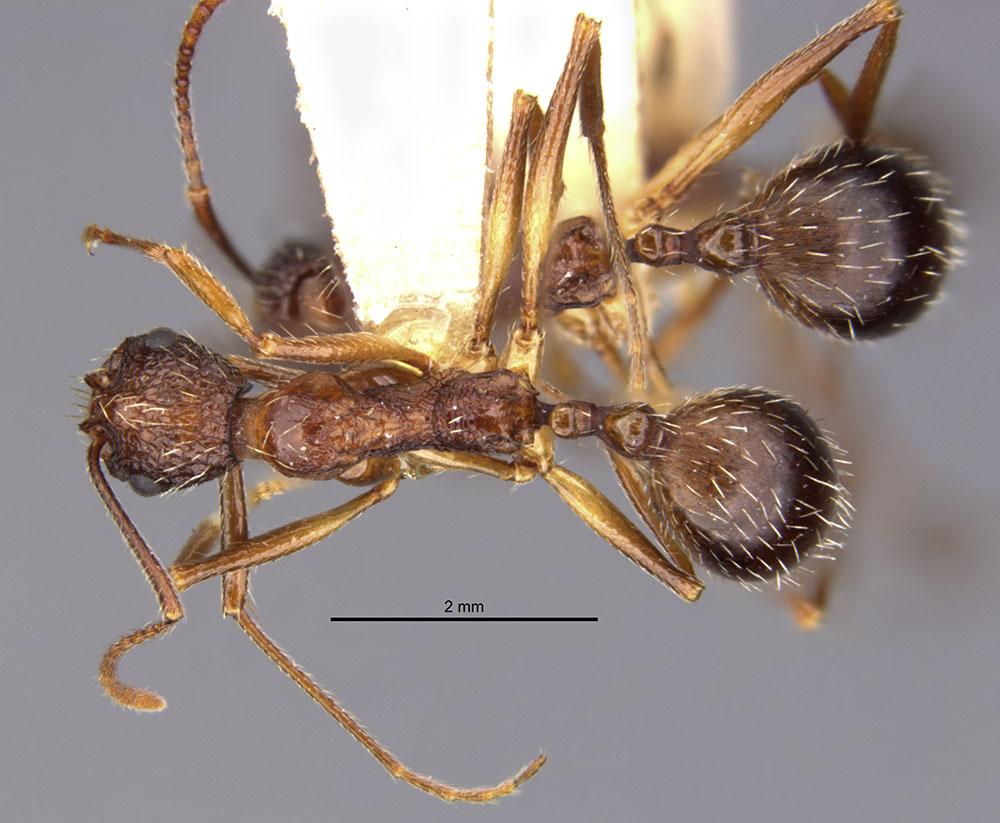 Image of Aphaenogaster exasperata