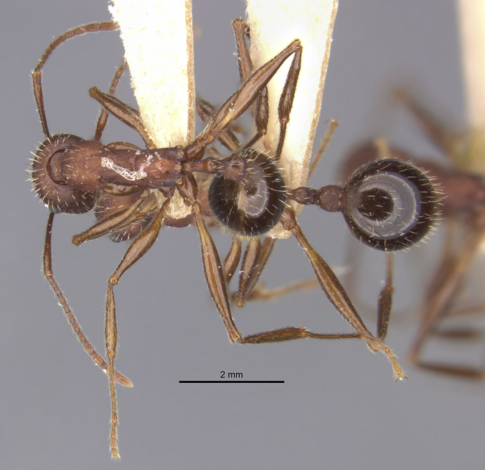 Image of Aphaenogaster geei