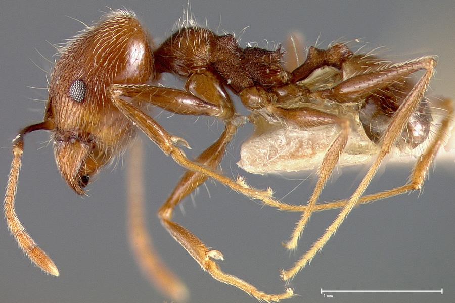 Image of Pheidole caribbaea