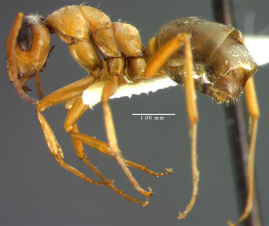 Image of Formica lepida
