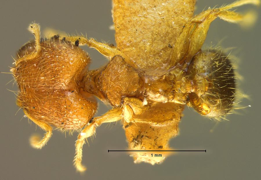 Image of Pheidole bugi