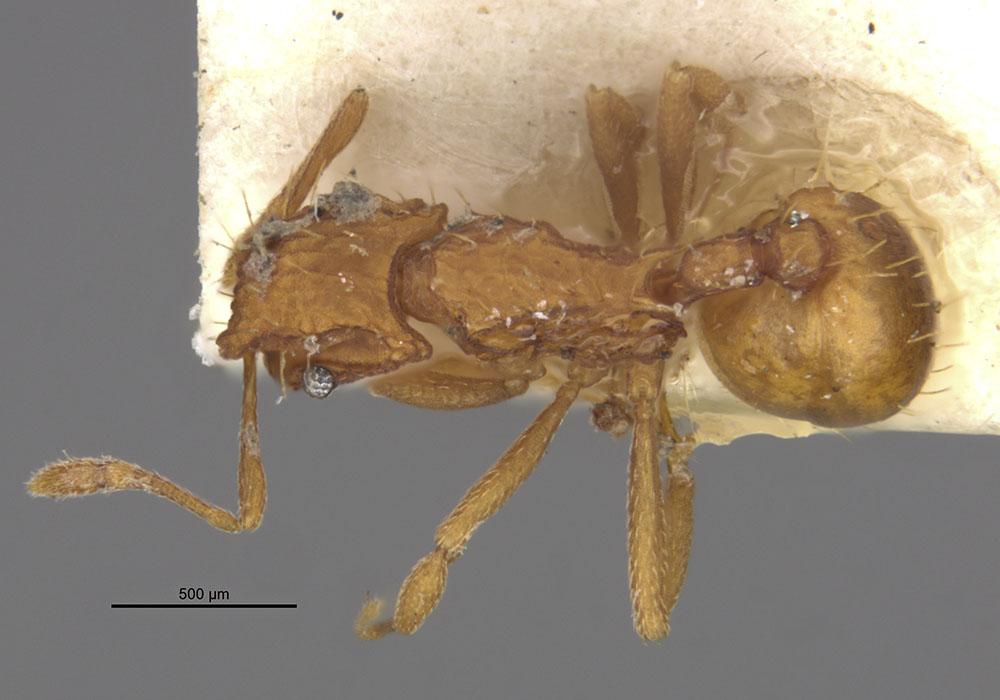 Image of Blepharidatta brasiliensis