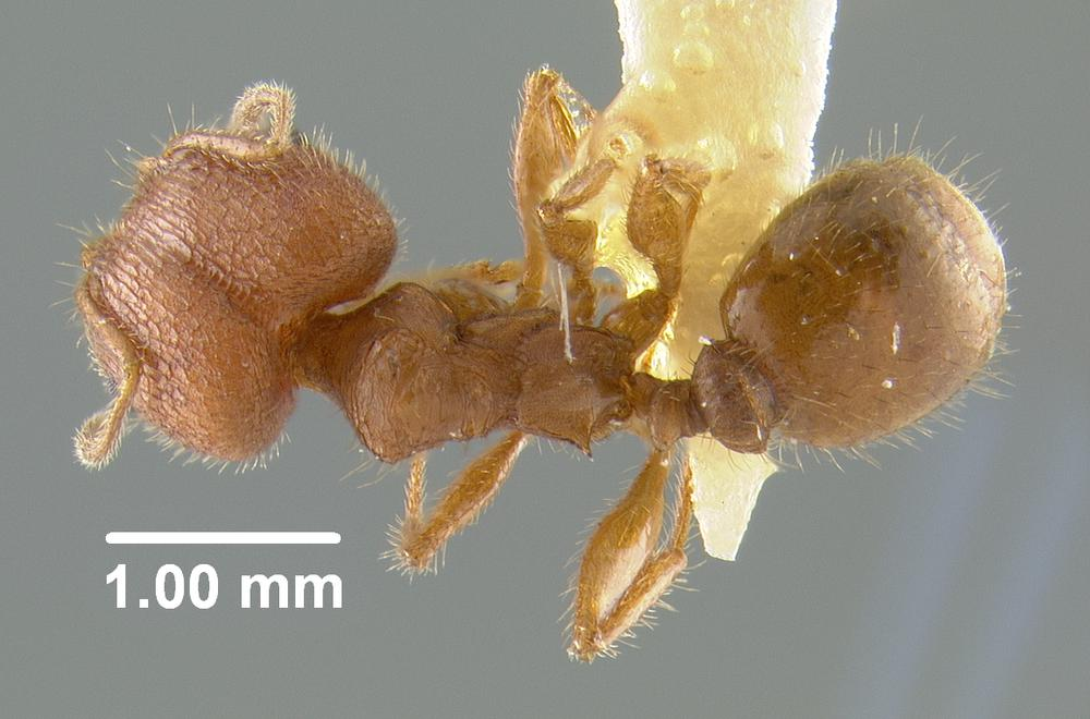 Image of Pheidole texana