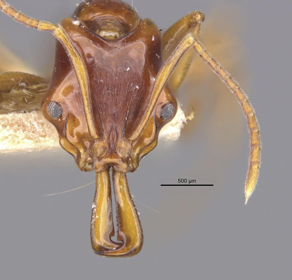 Image of Anochetus cato