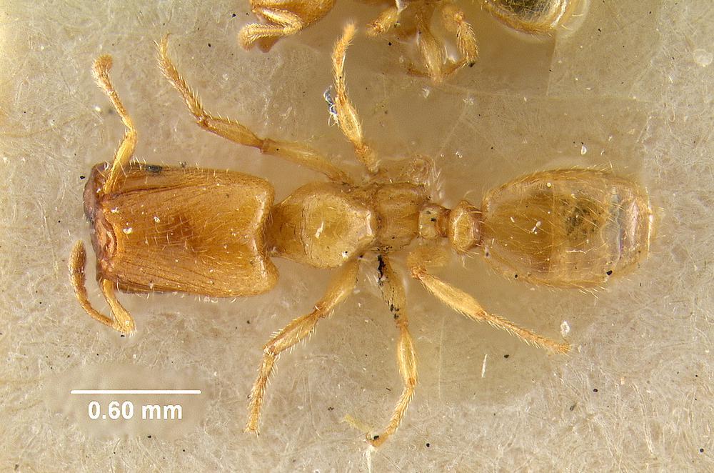 Image of Pheidole lamia