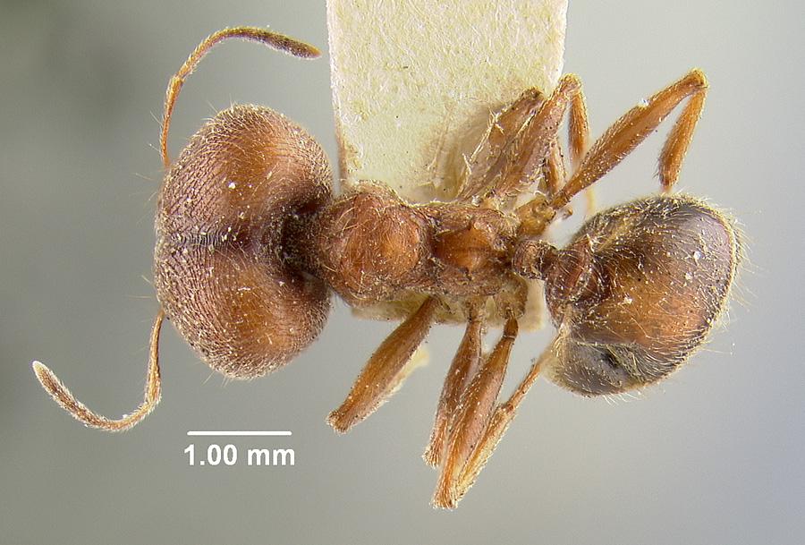 Image of Pheidole saxicola