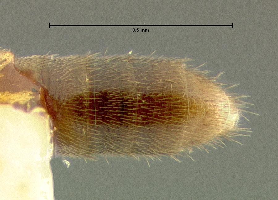 Image of Hydrosmecta macra