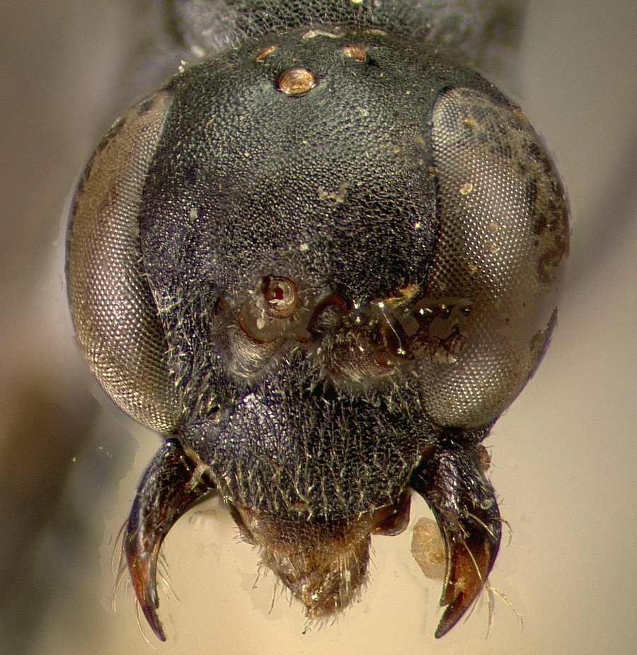 Media of type image, MCZ:Ent:13633 Identified as Ageniella agenioides type status Holotype of Pseudagenia virginica. . Aspect: head frontal view