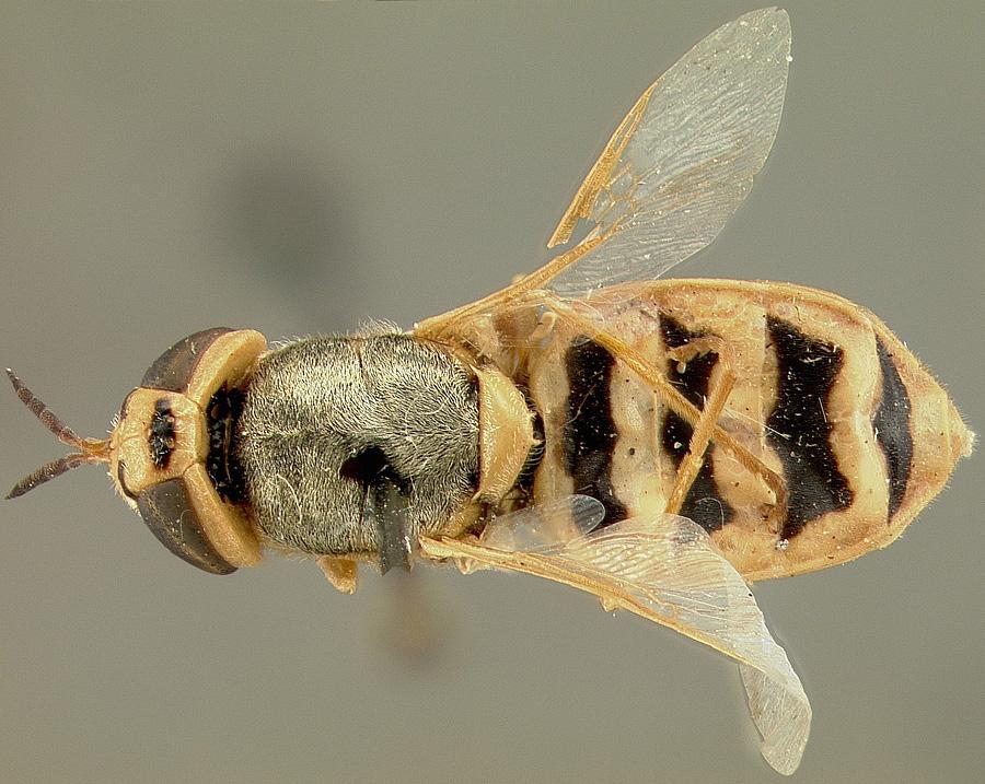 Odonotomyia tumida from MCZ