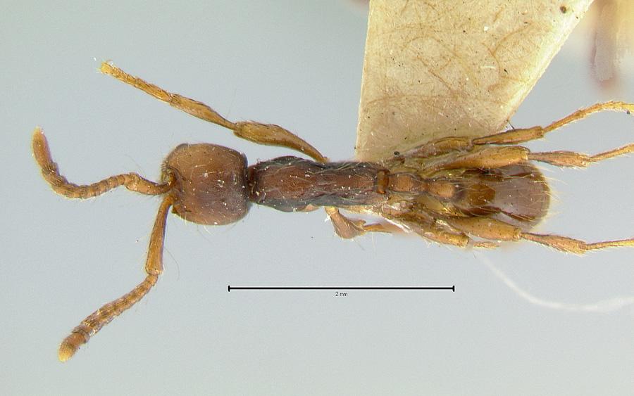 Image of Aenictus aratus
