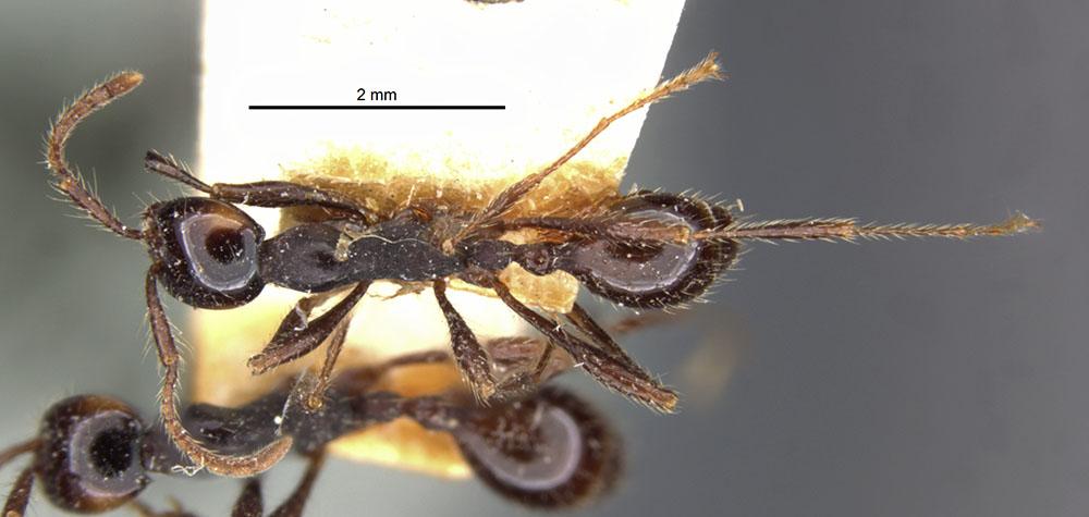 Image of Aenictus binghami