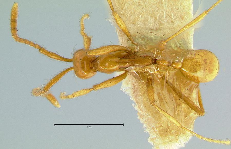 Image of Aenictus camposi