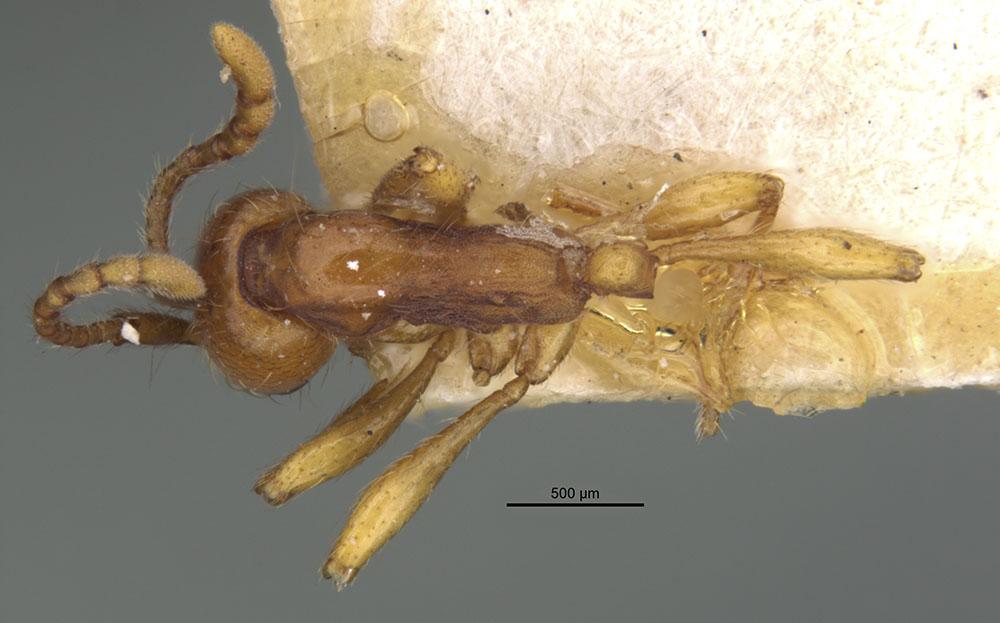 Image of Aenictus punensis