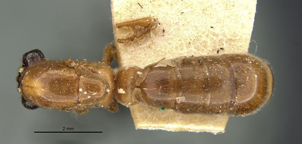 Image of Aenictus anceps