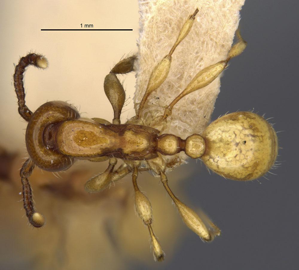 Image of Aenictus powersi