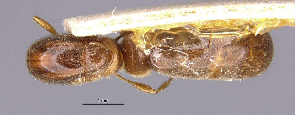 Image of Aenictus mutatus