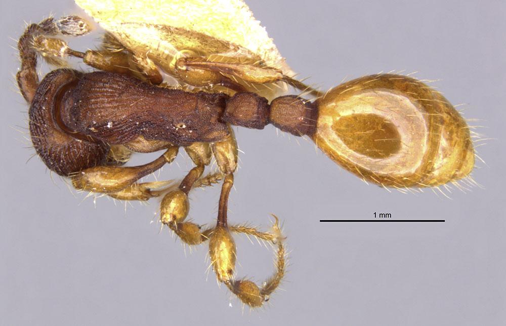 Image of Aenictus silvestrii