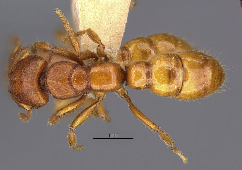 Image of Amblyopone clarki