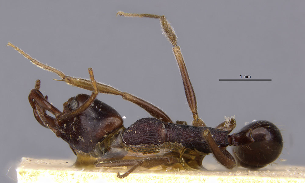 Image of Anochetus bequaerti