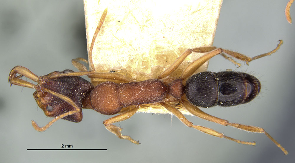 Image of Anochetus kanariensis