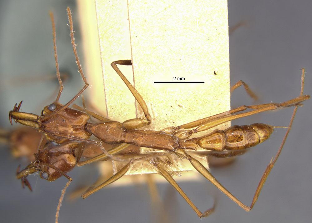 Image of Anochetus inca